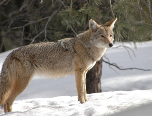 Aggressive coyote problems increase in late winter